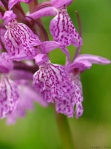 Orchidée sauvage-orchis négligé-Dactylorhiza praetermissa