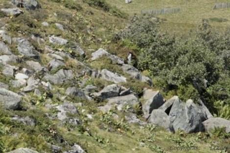 Pierrier des marmottes de plus près