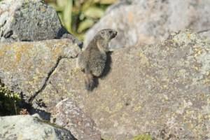 marmotte-marmota marmota-auvergne-sancy-capucin