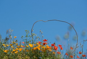 Itzalina, photo, hybride, olympus, om d e M1, panasonic 14-140, nature, plantes, fleurs, coquelicot, pavor, coloré